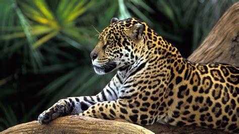 jaguar amazon rainforest wallpapers hd animals animal forest cool rain desktop jungle 1920 wildlife cat cute tropical cats animales hdwallpapers