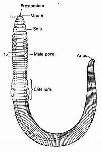 Annelida Roundworm Diagram