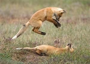 Tibetan Sand Fox Animals | Amazing Facts & Latest Pictures ...