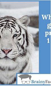 Animal Facts : White tigers | did you know | White tiger ...
