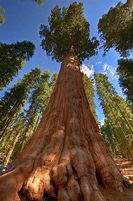 General Sherman Tree Sequoia National Park C…