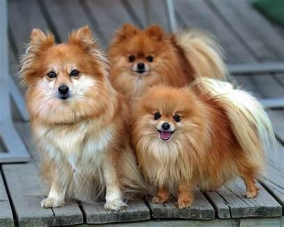 Pomeranian Dog Breed Pomeranians Dogs Pom Puppies