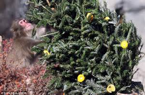 christmas tree smells like oranges comes early for central park s snow monkeys a tree decorated with all their favourite