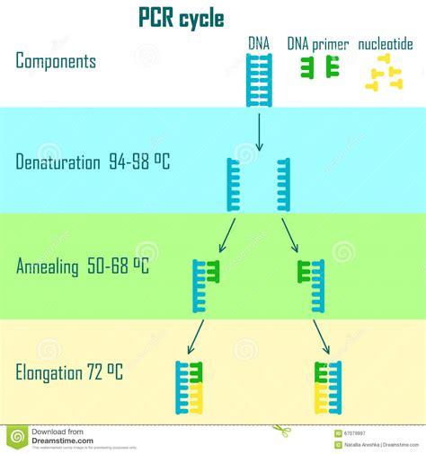bureau de la pcr fases do ciclo do pcr ilustra 231 227 o do vetor imagem 67079997