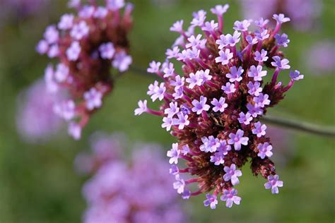 planting flowers in how to care for verbena plants