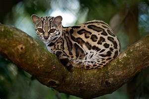 Margay, Leopardis Wiedii, Beautiful Ocelot Cat Sitiing On ...