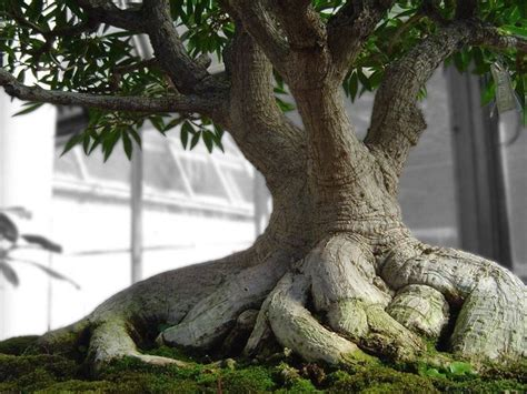 piante bonsai da interno creare un bonsai da zero fare bonsai creare un bonsai