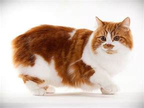 cymric cat cymric cat pictures personality and how to care for