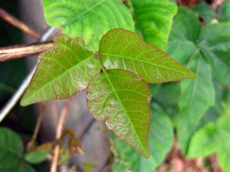 how many leaves does poison the many colors of poison ivy leaves young shiny reddish leaves flickr photo sharing