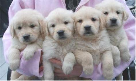 fondo de pantalla de cachorritos blancos animales hoy