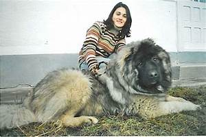 The gallery for --> Russian Caucasian Mountain Dog Attack