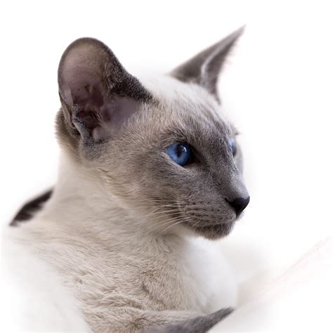 All About Siamese Cats  Cat Breeds Catloversdiarycom