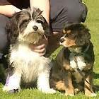 Burkes Backyard Dogs by Maltalier Dogs Burke S Backyard