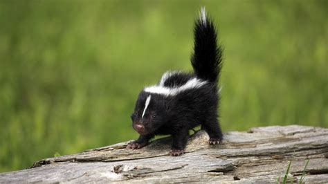 Baby Animals Wallpaper - baby skunk wallpapers baby animals