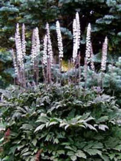 cimicifuga ramosa brunette actaea ramosa brunette