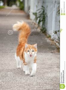 Young Cute Ginger And White Tabby Cat On The Footpath ...