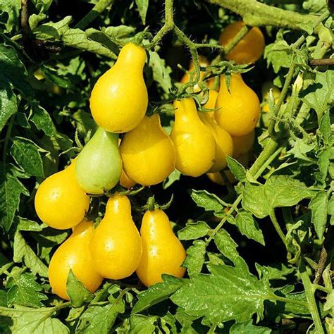 Vines grow vigorously and can get quite tall, so be sure to support each plant with a tall, sturdy cage. 22 best Yellow Tomatoes images on Pinterest | Tomatoes, Vegetable garden and Vegetables garden