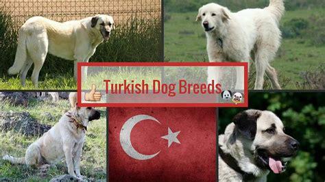 turkish dog breeds youtube