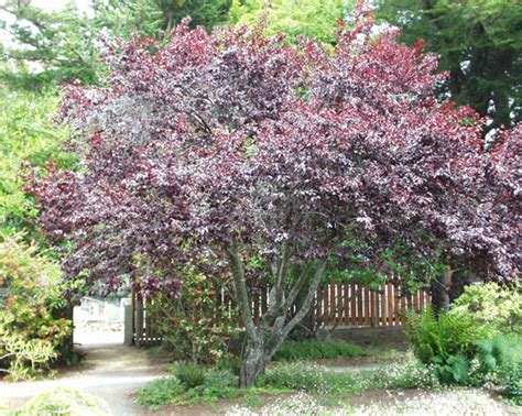 thundercloud cherry tree ufei selectree a tree selection guide