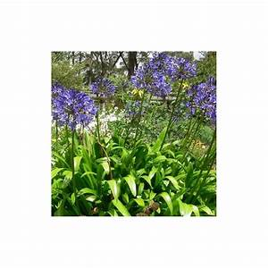 Graines D Agapanthe : agapanthus africanus blue umbrella agapanthe bleue graines ~ Melissatoandfro.com Idées de Décoration