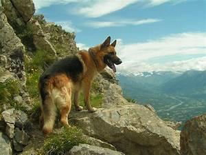 German Shepherd Dog photos and wallpapers. The beautiful ...