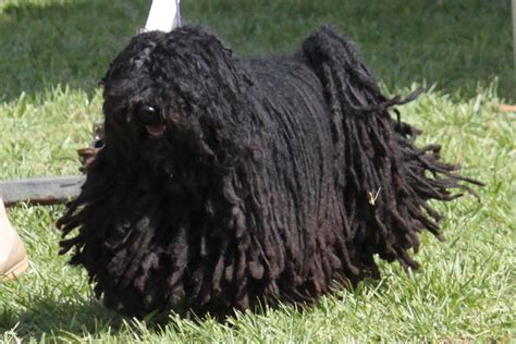 Puli Breed Information, Puli Images, Puli Dog Breed Info