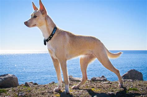 andalusian hound breed dog petguide breeds minepuppy