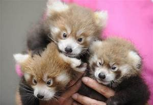 red panda babies « Why Evolution Is True
