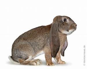 Widder Und Widder : englische widder wildfarben kaninchenrassen info ~ Orissabook.com Haus und Dekorationen
