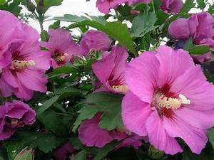 Pampasgras Wann Schneiden : hibiskus schneiden wann hibiskus schneiden wann wie macht ~ Lizthompson.info Haus und Dekorationen