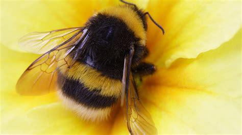 queen bumblebees  hiding underfoot  spring