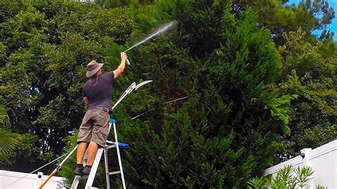 leyland cypress tree trim turns  complete removal