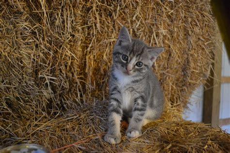 Grey Tiger Kitten   Animals   Pinterest   Kittens, Animals ...
