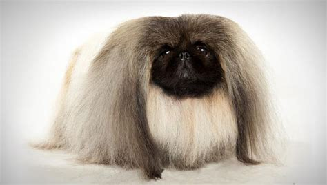 pekingese puppies rescue pictures information