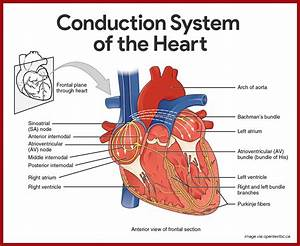 Cardiovascular System Anatomy And Physiology