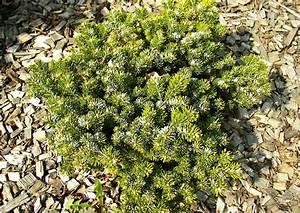 Weidenruten Zum Pflanzen Kaufen : koniferen 025 schneiden pflanzen kaufen pflege abies ~ Lizthompson.info Haus und Dekorationen
