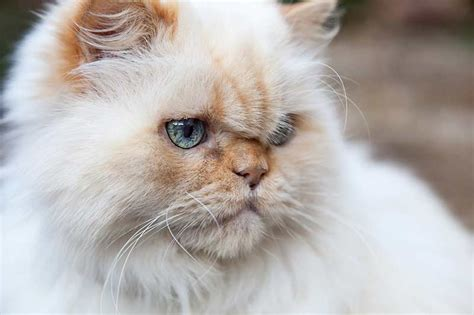 Himalayan Cat  A Guide To The Breed  The Happy Cat Site