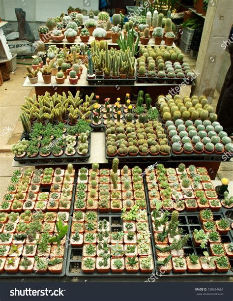Rows Of Pots With Tiny Little Cactus In Cactus Shop ...
