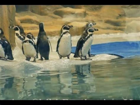 penguins  rani baag jijamata udyan byculla zoo youtube
