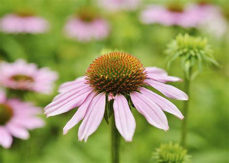 how to grow coneflowers how to grow purple coneflower perennials