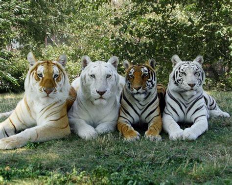 Best Ideas About Bengal Tiger Facts Pinterest