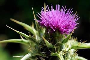Chardon Marie Plante : les plantes comestibles sauvages du qu bec ~ Dode.kayakingforconservation.com Idées de Décoration