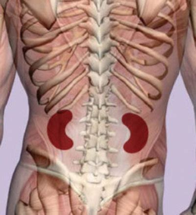 Speech organs can be mobile and immobile, active and passive. Kidney Pain - (Location, anatomy), lower back, Vs Back ...