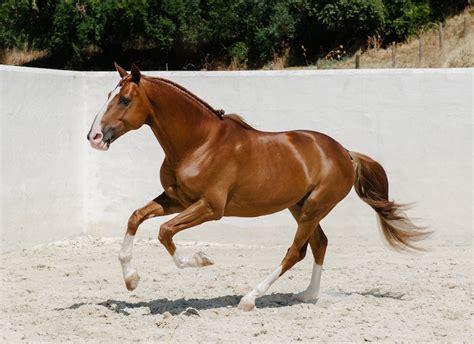 horse andalusian iberian horses stallion thoroughbred transperceneige 2007