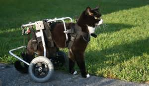 cat wheelchair blacky the wheelchair cat just cats