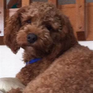 Cocker spaniel poodle mix | Poodle mix | Pinterest
