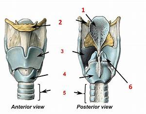 Labelling The Larynx