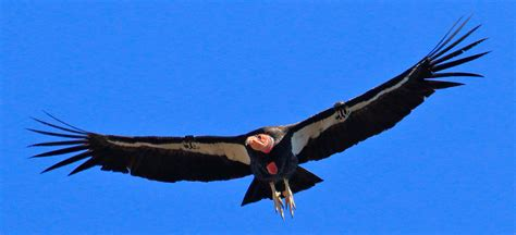 california condors  pinnacles pinnacles national park