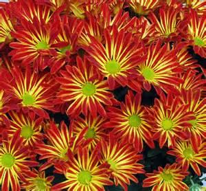 hollyhock flowers australian seed gazania mix