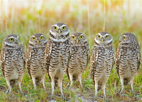 burrowing owls stopping development in its tracks